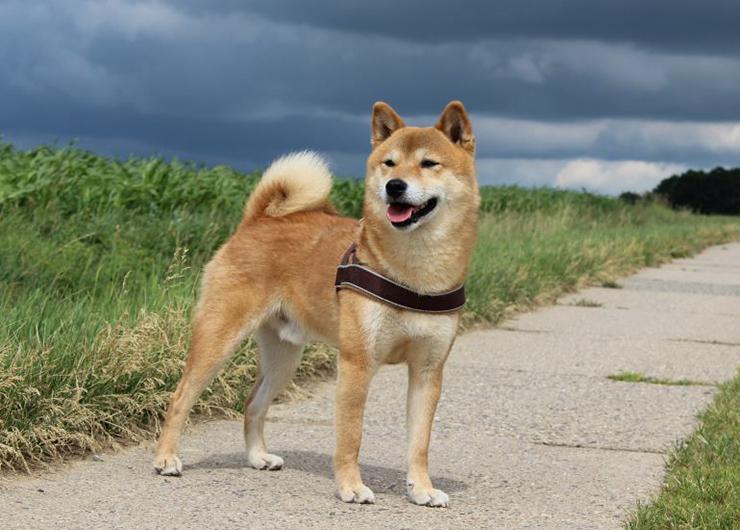 Hund beim Gassigehen in Dresden
